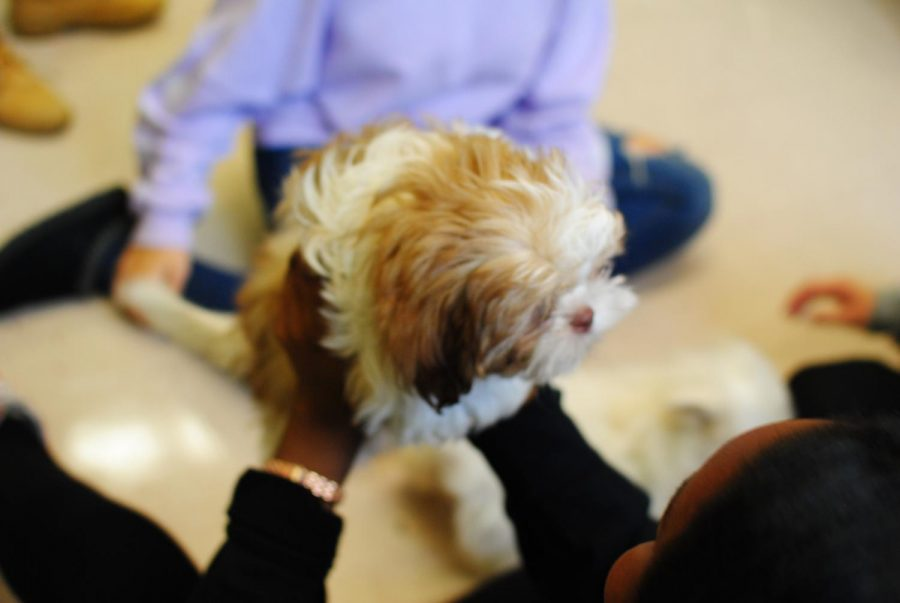 One of four puppies brought to help de-stress students before finals week.